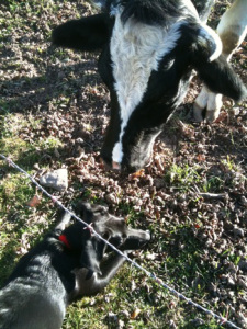 black-lab-cow